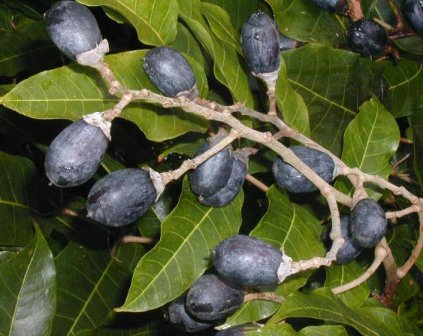 African canarium fruits