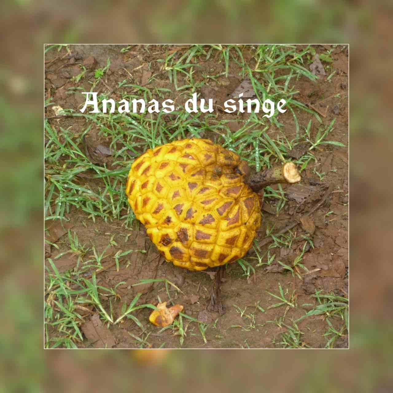Ananas du singe