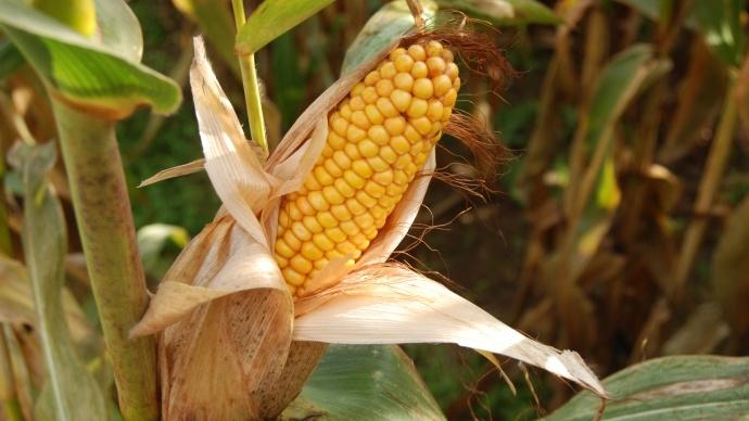 Mai s grain