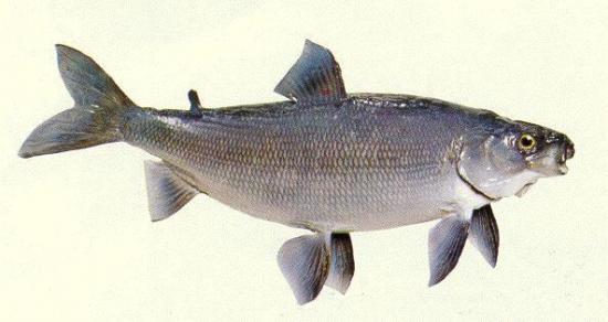 poissons-d-eau-douce-coregone-258254.jpg